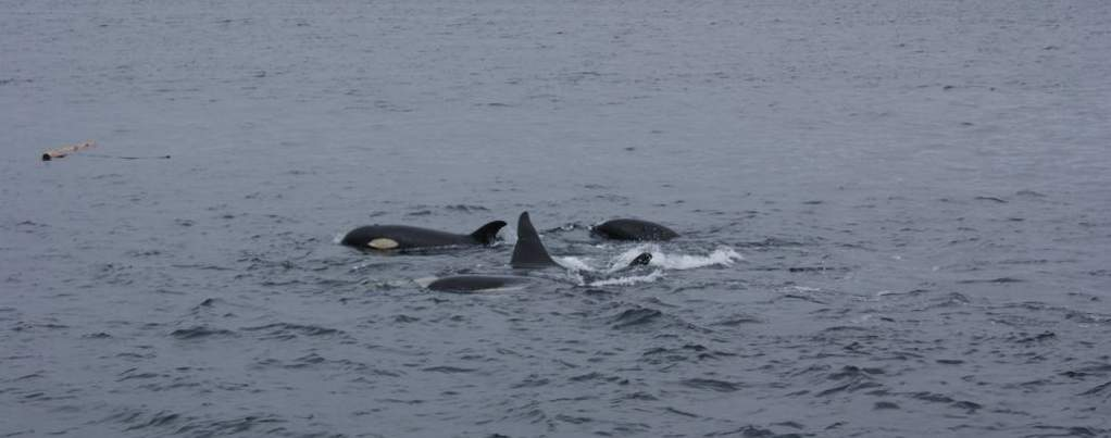 viatges a Canadà, observació d'orques